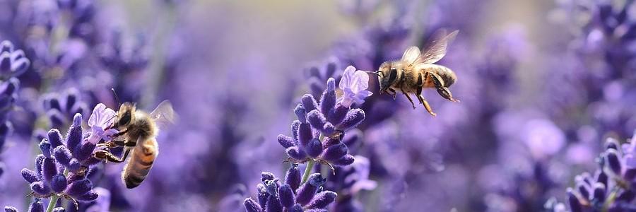 lavenders-1537694_1280